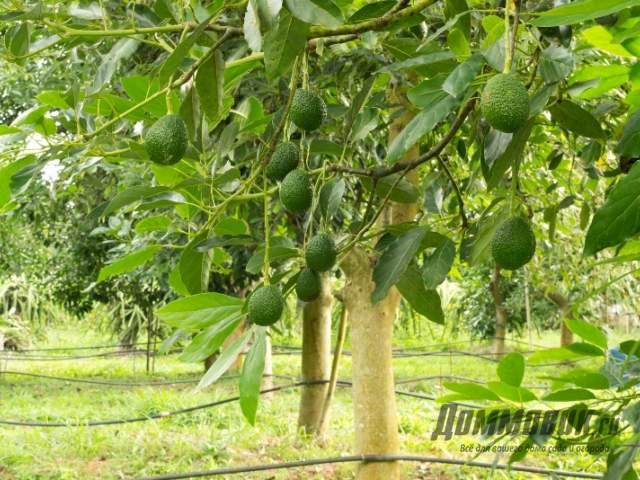 деревья авокадо в природе фото