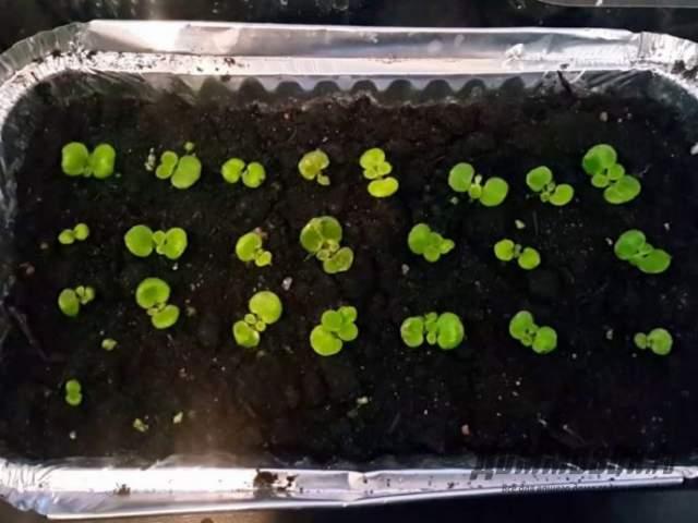фиалки из семян (сеянцы) фото