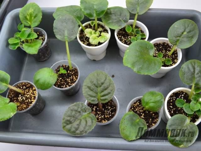 вегетативное размножение сенполий