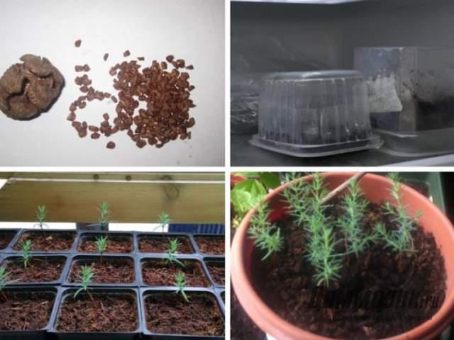 посев кипарисовика из семян