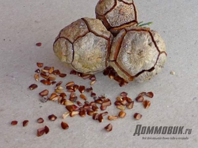 шишки и семена кипарисовика
