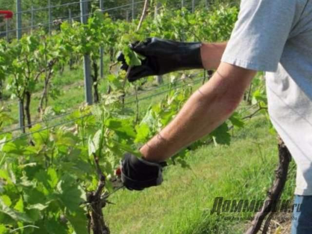 Как делать обрезку винограда