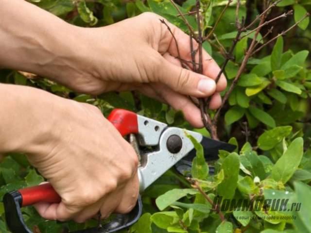 Как выполнить обрезку жимолости