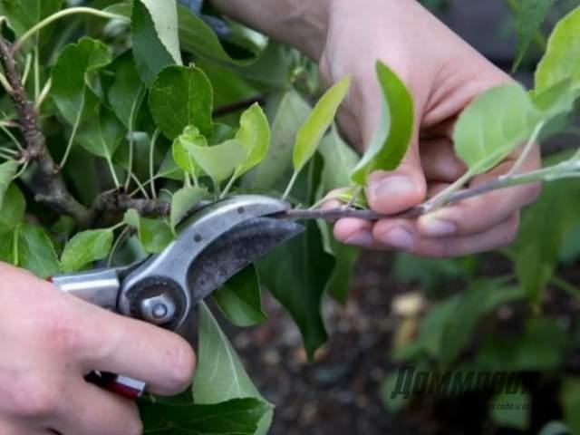Как делать обрезку груши