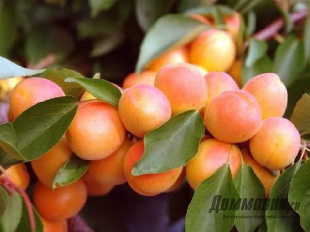 Как делать обрезку абрикоса