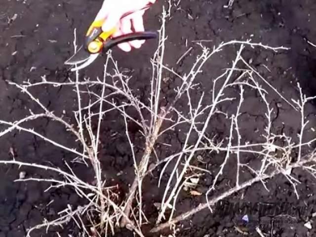 Как делать обрезку крыжовника