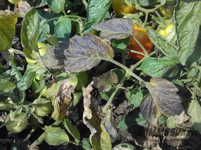 бурые пятна на томатах - признак избыточного полива