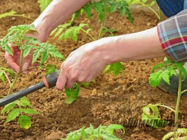 рыхление почвы возле томатов