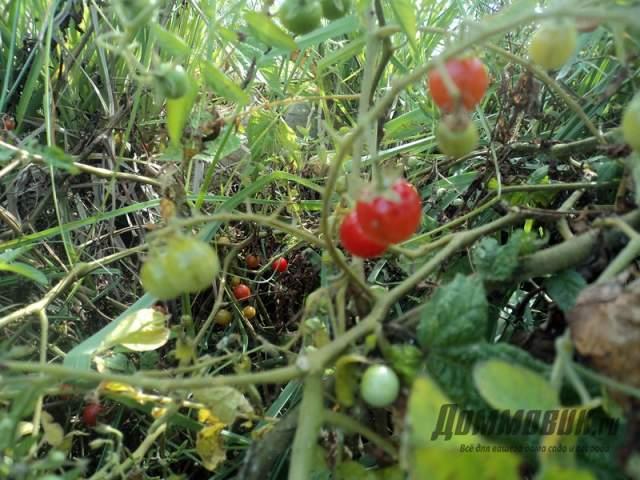 дикие томаты в Эквадоре