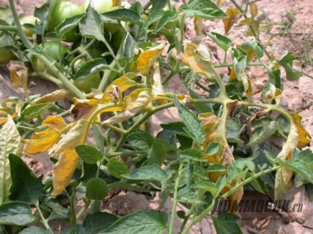 вянут листья помидоров - что делать