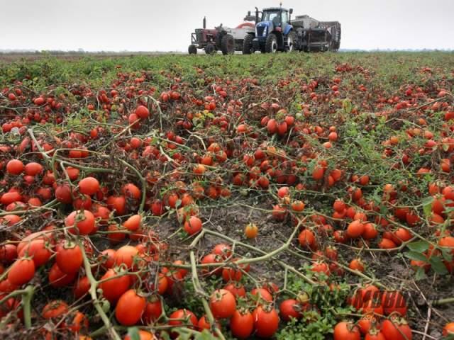 помидоры в поле