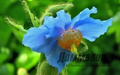 Голубой мак меконопсис, посадка и уход за растением