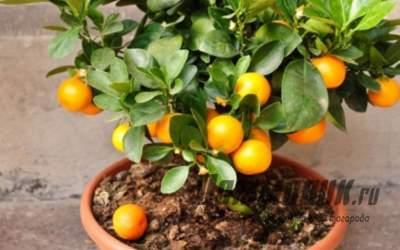 Как ухаживать за комнатным мандарином: главные секреты