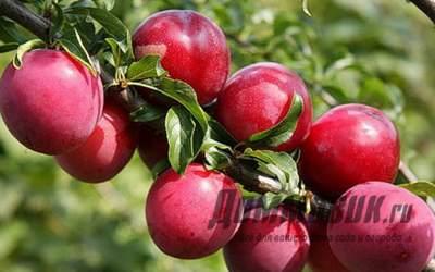 Лучшие сорта алычи для выращивания в вашем саду