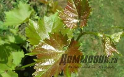 Самые опасные вредители и болезни винограда