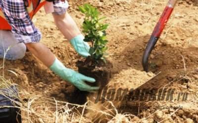 Какие деревья лучше сажать осенью и почему