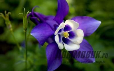 Как вырастить в саду удивительный цветок аквилегию