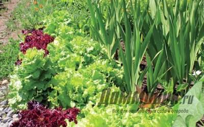 Какие растения на грядке смогут ужиться друг с другом