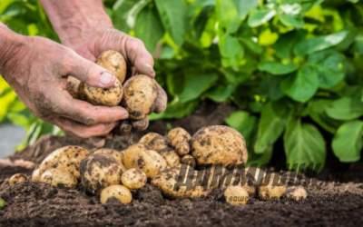 Удобрение Аммофоска – особенности применения при выращивании картофеля