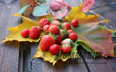 Правильно ухаживайте за клубникой осенью