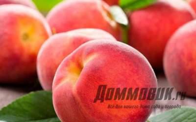 Осуществляйте правильный уход за персиком в саду