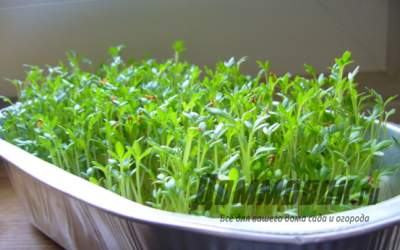 Как вырастить листья салата в домашних условиях