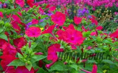 Как посадить и вырастить цветок мирабилис