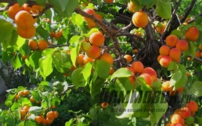 Как ухаживать за деревом абрикоса