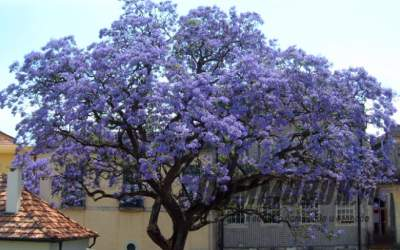 Как выращивать садовое адамовое дерево (павлонию)?