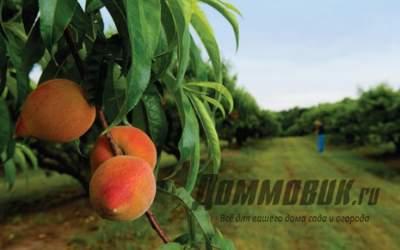 Персик: выращивание и уход