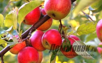 Описание сортов яблонь