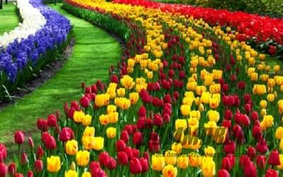 Чем подкормить тюльпаны весной?