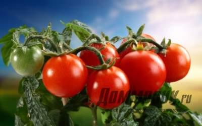 Ранние сорта томатов: выбираем лучший