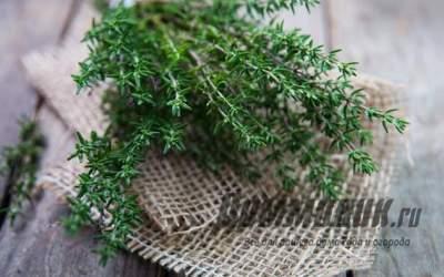 Чабрец: польза и вред растения