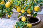 Как посадить и вырастить лимон из косточки