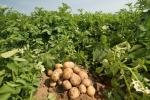 Чем удобрять картофель весной