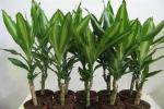 Как правильно пересадить драцену, чтобы не навредить растению