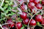 Как посадить и вырастить клюкву