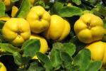 Самые главные секреты выращивания айвы
