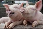 Зубы свиньи болят