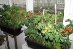 Помидоры на балконе - выращивание