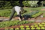 Embedded thumbnail for Как выращивать салаты