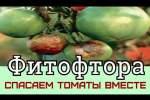 Embedded thumbnail for Фитофтора на помидорах как бороться
