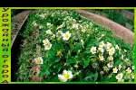 Embedded thumbnail for Как сделать клубнику урожайной