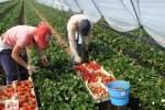Embedded thumbnail for Как правильно выращивать клубнику