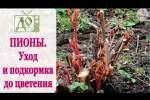Embedded thumbnail for Как ухаживать за пионами весной