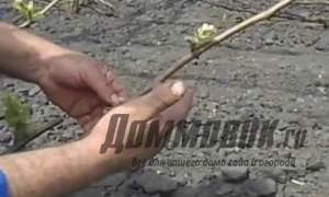 Embedded thumbnail for Как ухаживать за виноградом весной
