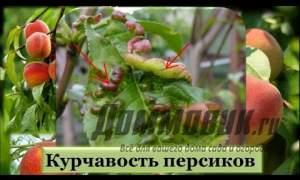 Embedded thumbnail for Лечение курчавости персика