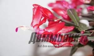Embedded thumbnail for Как ухаживать за цветком декабристом