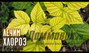 Embedded thumbnail for Хлороз на малине: как бороться